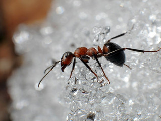 Pests in the Winter: Ants!