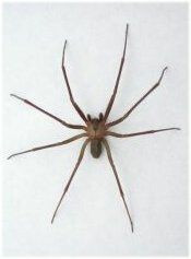 Pests In the Winter: House Spiders
