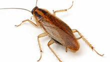 Pest Invaders: German Roaches