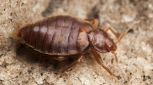 Pest Invaders: Bed Bugs