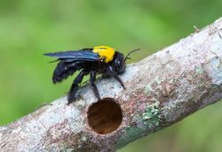 LMBPC: Carpenter Bees