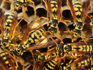 Summer Pests: Wasps