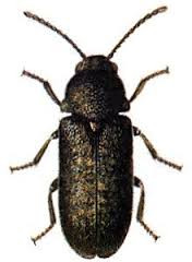 LMBPC: Death-watch Beetle!