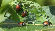 Summer Pests: Japanese Beetles
