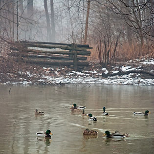 fog-and-ducks.jpg