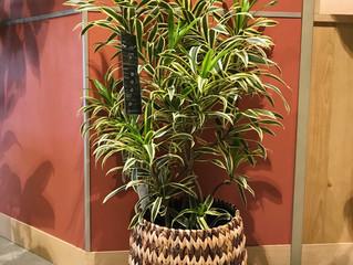 ZAZAの観葉植物