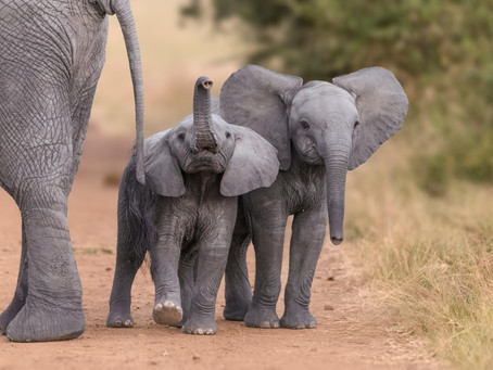 Elephants Never Forget: A Fact or Just a Myth?
