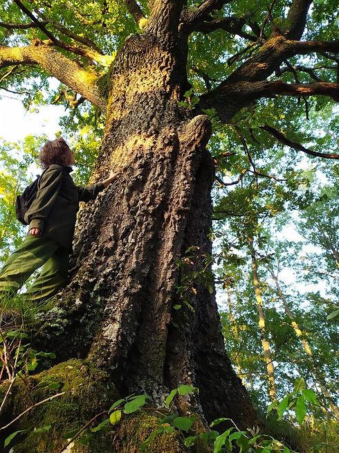 albero monumentale spedaletto.jpg