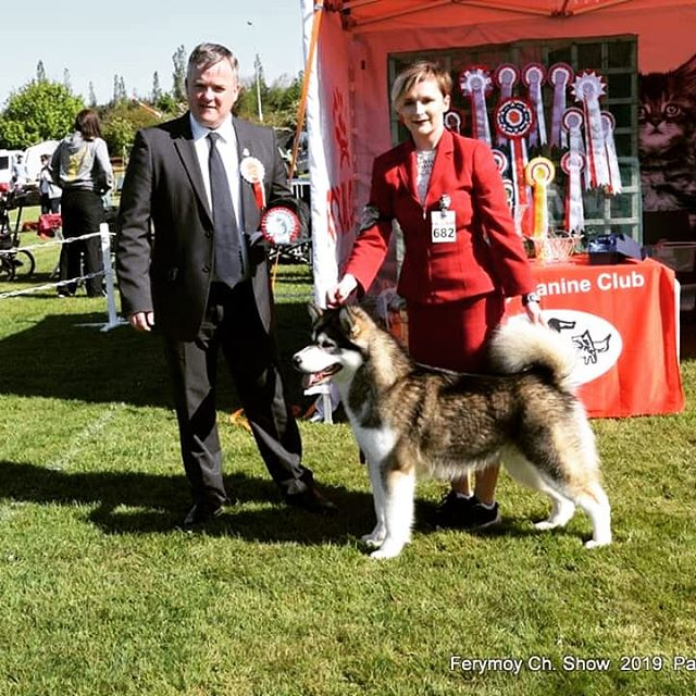 🐾Irelands top Alaskan Malamute Female 2