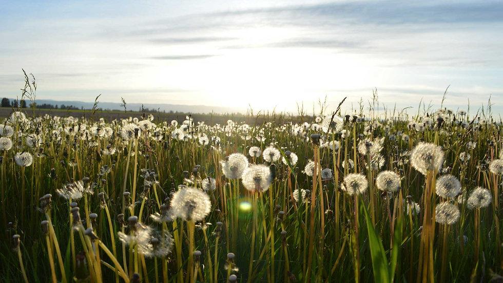 Canva - Field of Dandelion Seeds.jpg