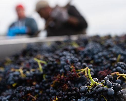 raisins-vendanges.jpg