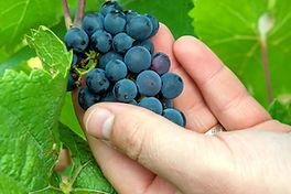 Vitivalor Solution : raisins