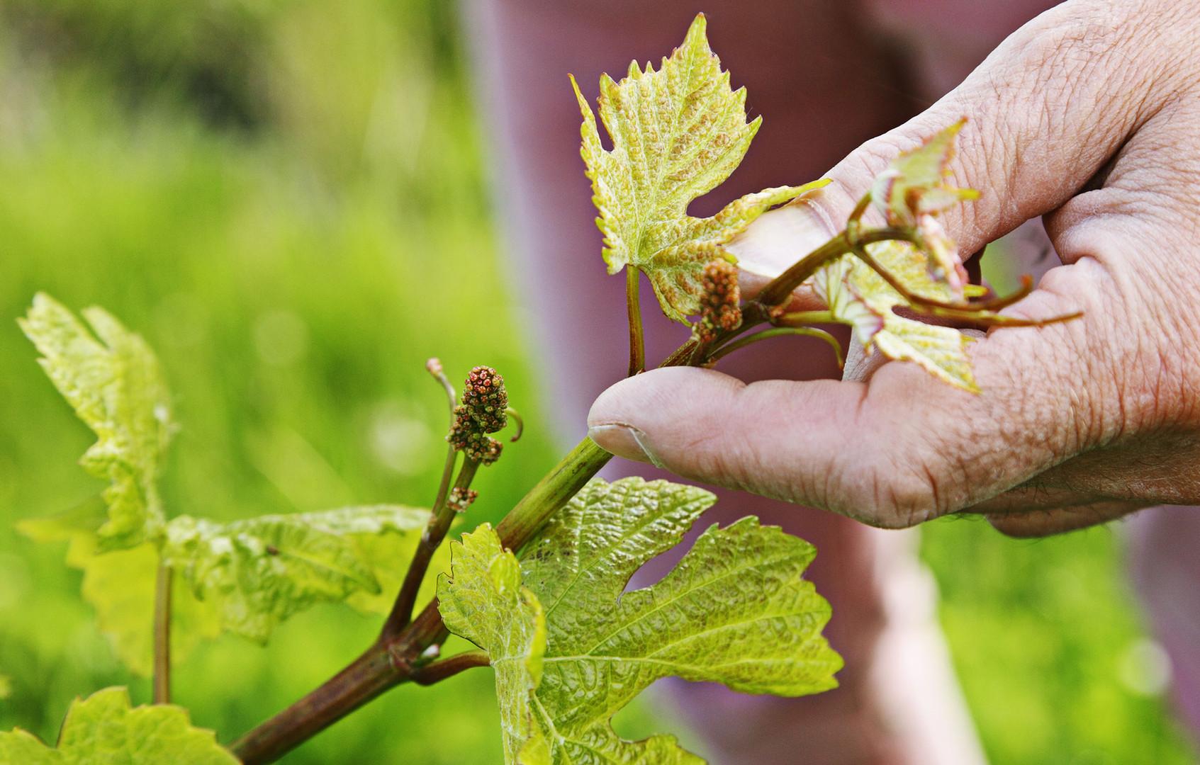 Vigne-plante-AdobeStock_159274853_2000px