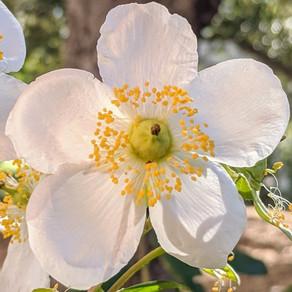 Carpenteria californica 'Elizabeth'