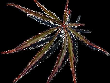 Acer palmatum var. dissectum atropurpureum