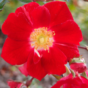 Rosa (ground cover forms)