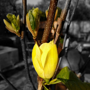 Magnolia x 'Elizabeth'