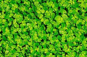 Green carpet of Baby's Tears (Soleirolia