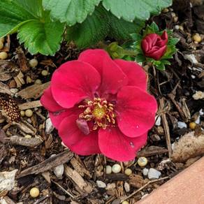 Fragaria x ananassa Proven Harvest™ Berried Treasure™ Red