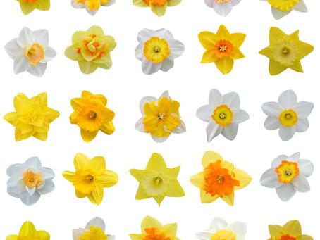 Narcissus hybrids