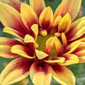 Chysanthemum x morifolium