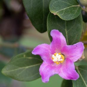 Lagunaria patersonii