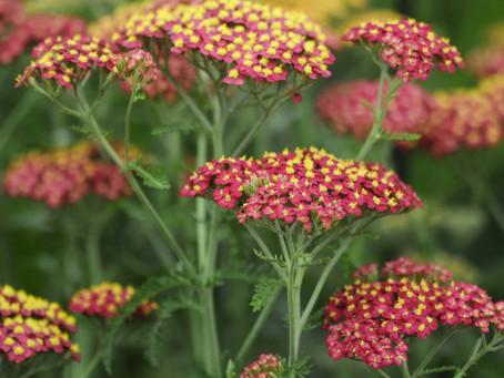 Achillea millifolium 'Paprika'