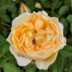 Rosa 'Graham Thomas'