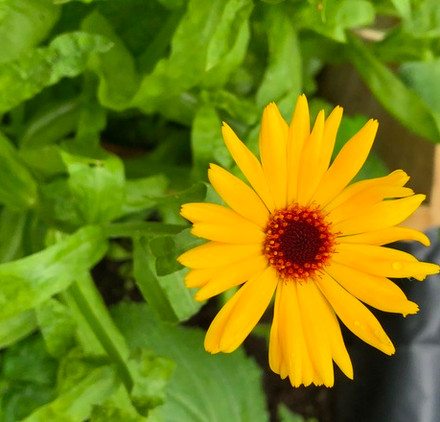 edible-flowers-and-plants-for-sale