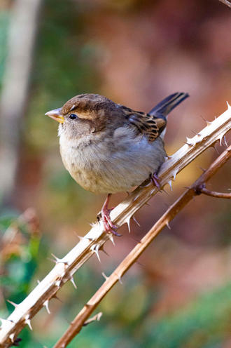 American Tree Sparrow on Thorn