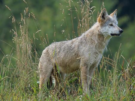 Vargen kommer - men rovdjursstängsel skyddar effektivt