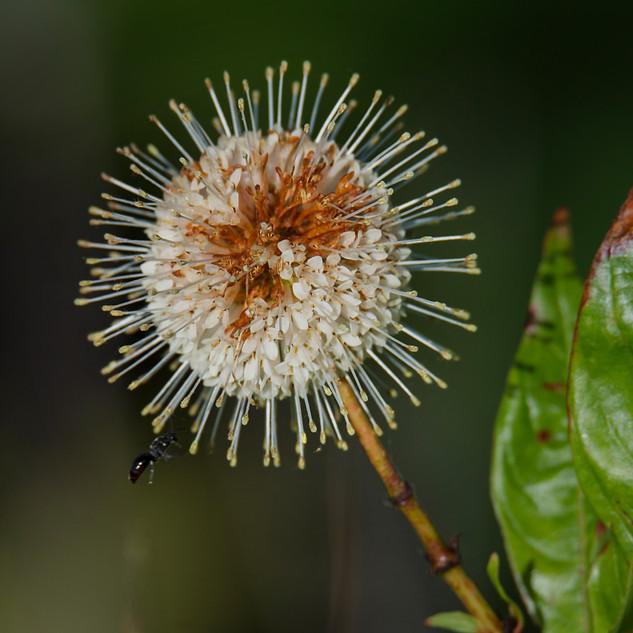 Sputnik Buttonbush
