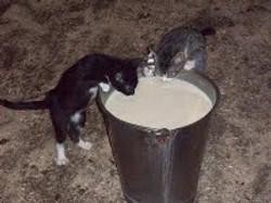 Kittens Drinking