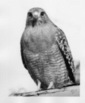 Obs. Hawk.jpg