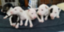 miniature bull terrier puppies for sale