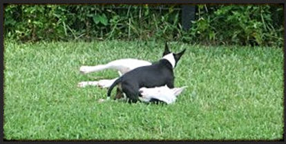 Miniature Bull Terrier Pups For Sale