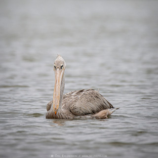 Pink-beaked Pelican