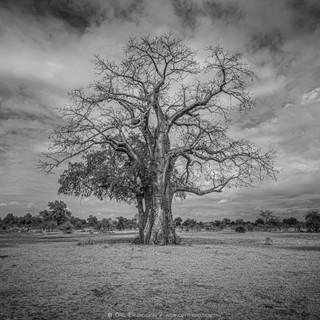 Boab tree BW