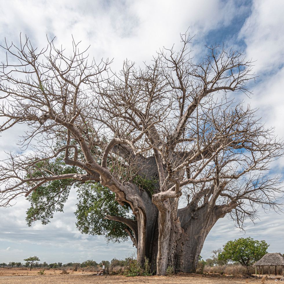 The giant Boab tree