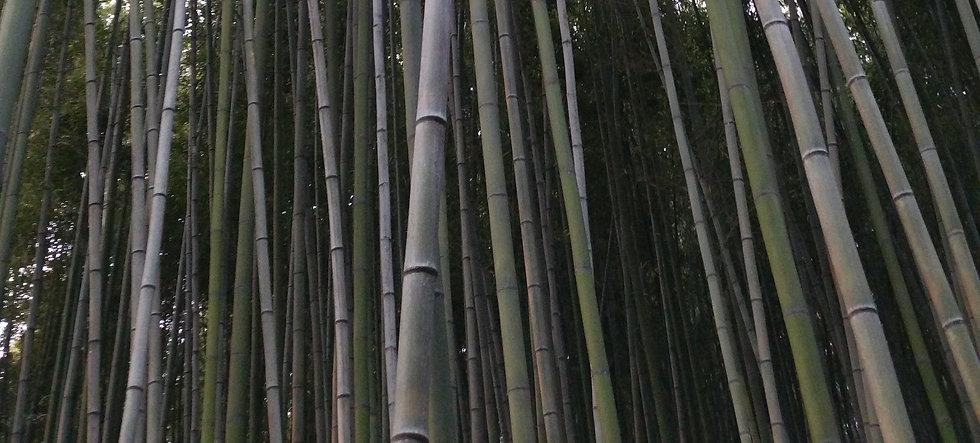 bambus 6.jpg