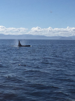 Killer Whales Sooke Fishing Charter
