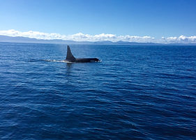 Orca killer whale on sooke fishing charters