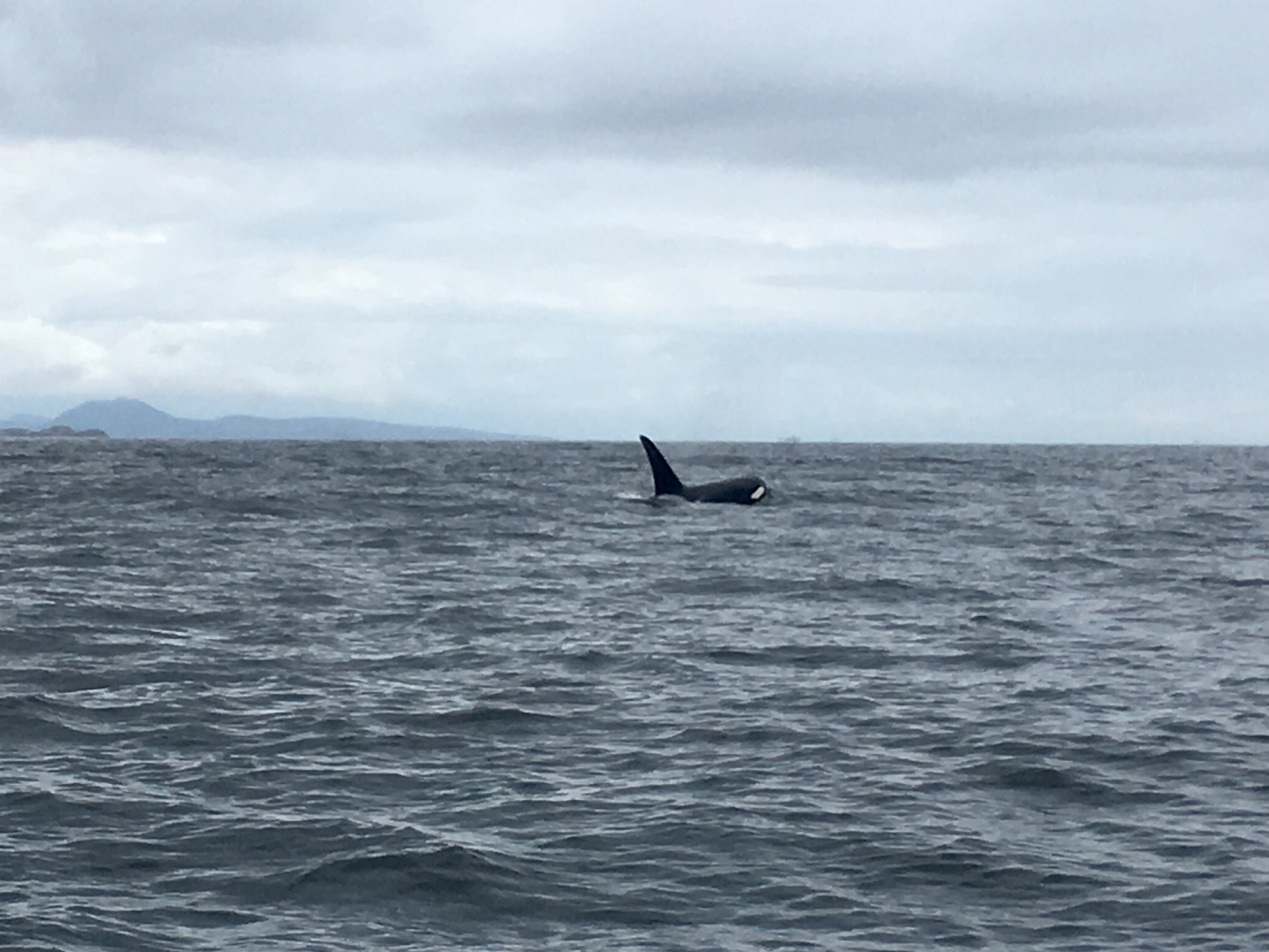 killer whales on nanaimo fishing charters