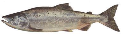 Fishing charters on vancouver island, Fishing charters in Nanaimo, fishing charters in sooke, Fishing charters in Victoria, fishing charters in Nootka sound, fishing charters in esperanza, Unreel fishing charters, Pink salmon