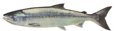 Fishing charters on vancouver island, Fishing charters in Nanaimo, fishing charters in sooke, Fishing charters in Victoria, fishing charters in Nootka sound, fishing charters in esperanza, Unreel fishing charters, fishing charters in tahsis, chum salmon