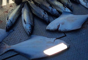 Chinook and halibut fishing charters in victoria
