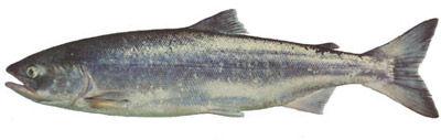 Fishing charters on vancouver island, Fishing charters in Nanaimo, fishing charters in sooke, Fishing charters in Victoria, fishing charters in Nootka sound, fishing charters in esperanza, fishing charters in tahsis, Unreel fishing charters, sockeye salmon