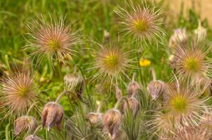 Waterperry Garden - Pulsatilla vulgaris
