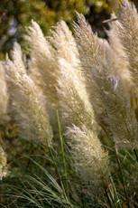 White Pampus Grass