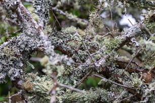 Lichen Thicket